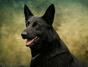 Black German Shepherd Dog IIi Photograph by Sandy Keeton