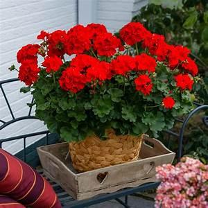 Rote Haselnuss Kaufen : rote stehende fairtrade geranie xl qualit t online kaufen bei g rtner p tschke ~ Michelbontemps.com Haus und Dekorationen