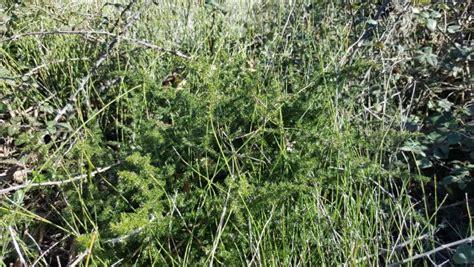 comment cuisiner les asperges sauvages les asperges sauvages flordaki