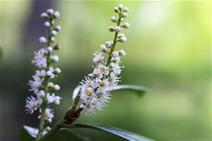 Kirschlorbeer Braune Blätter : kirschlorbeer hat braune bl tter ursachen behandlung ~ Lizthompson.info Haus und Dekorationen