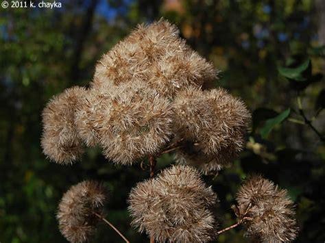eutrochium purpureum sweet scented joe pye weed