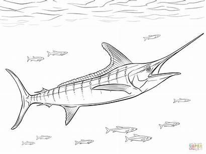 Marlin Coloring Realistic Pages Atlantic Fish Sailfish