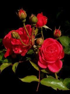 real rose mobile screensavers  mobile