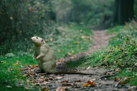 Ratten Und Mäuse Im Garten Gruenoasech