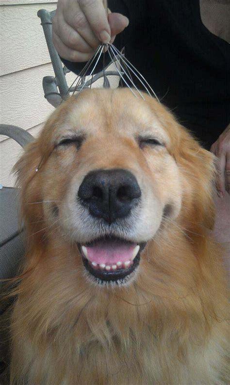 huskys reaction    head massage  priceless
