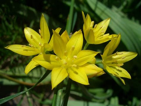 Bright Yellow Fungus In Garden by Allium Moly Flowers In An English Country Garden