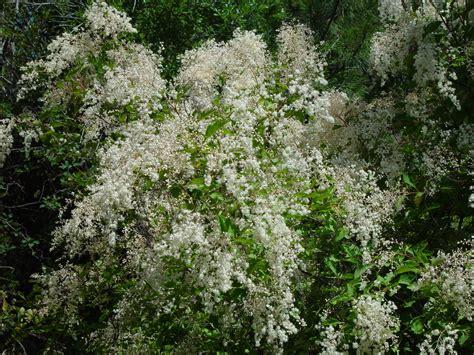 flowering shrubs pacific northwest j 228 rvselja 213 ppe ja katsemetskond holodiscus discolor mitmev 228 rviline ebaenelas