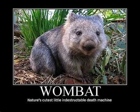 Wombat Memes - lizzie ingham world cup 2015 a guide to australian fauna