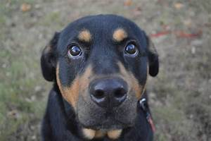 Rottweiler Mix | www.imgkid.com - The Image Kid Has It!