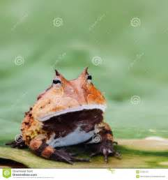 Horned Frog Amazon Rainforest Animals