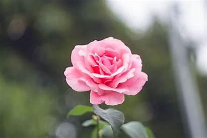 Pink Rose Flower Flowers Pexels Roses Counts