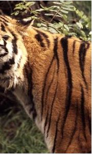 19 amazing tiger facts for Global Tiger Day   WWF-Canada