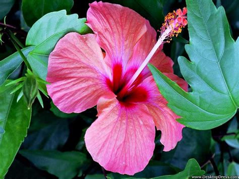 Hibiscus Flower Backgrounds by 48 Hibiscus Wallpaper Background On Wallpapersafari