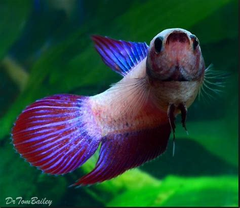 best images about you betta work it on 17 best images about batta fish on beautiful 17