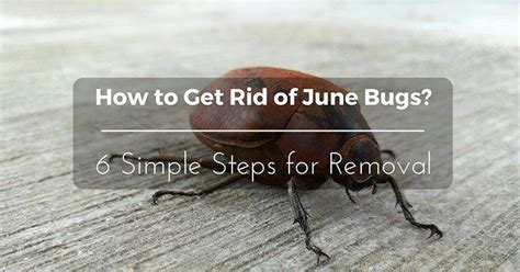 How To Get Rid Of June Bugs On My Porch by How To Get Rid Of June Bugs 2019 Update 6 Simple Steps