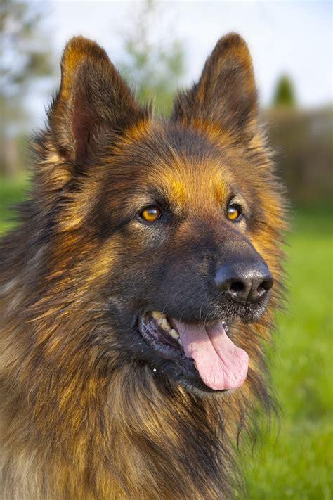 deutscher schaeferhund rassebeschreibung mit bild