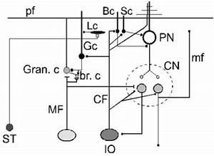 Wiring Diagram Of The Cerebellar Circuitry  Purkinje Ne