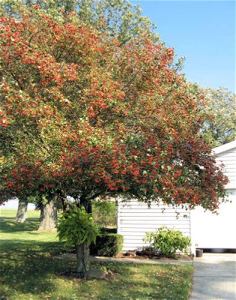 washington hawthorn our little acre the trees of our little acre washington hawthorn