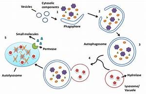 Main Steps Of Autophagy   1  Small Vesicles Fuse To Form The