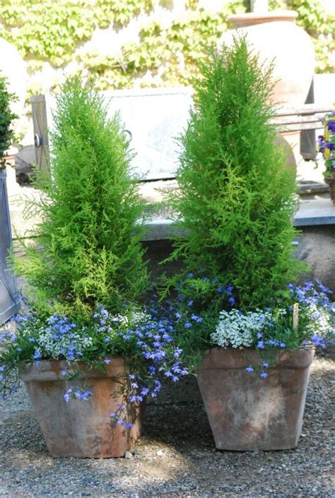 cypress trees in pots at a glance enjoying the season dirt simple lemon cypress trees in pots container