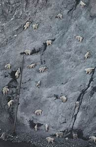 How mountain goats can climb such vertical walls? | Cane Jason