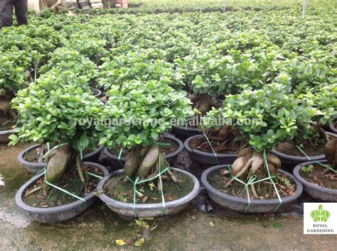 Bonsai Per Interni Microcarpa Ficus Ginseng Bonsai Interni Ed Esterni Bonsai