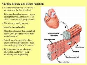 Cardiac Muscle Cell Structure Branching | www.pixshark.com ...