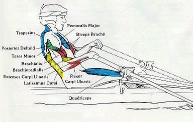 Row Your Boat Abs by Rowing Machine Muscles Used Complete Breakdown Rowing