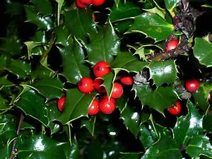 The gallery for --> Identify Types Of Holly Bushes