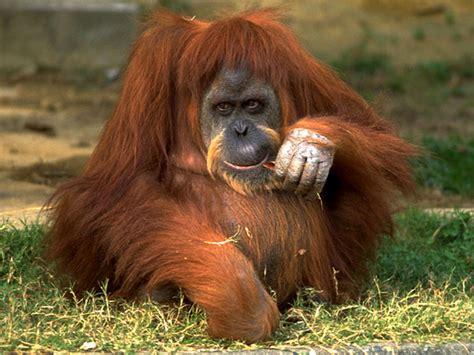 orangutan endangered animals list  endangered animals