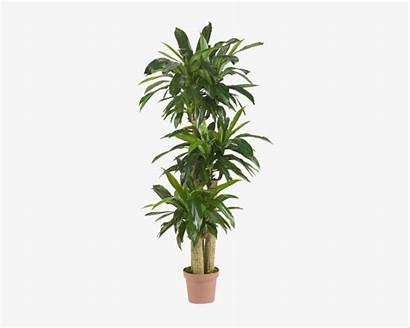 Tropical Nearly Inch Natural Outdoor Plants Indoor