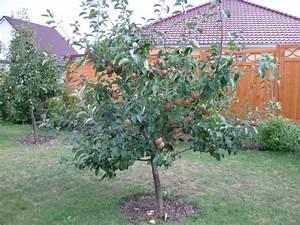Apfelbaum Hochstamm Kaufen : herbstapfel 39 gravensteiner 39 malus 39 gravensteiner 39 baumschule horstmann ~ Orissabook.com Haus und Dekorationen