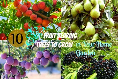 popular fruit bearing trees   easy  grow