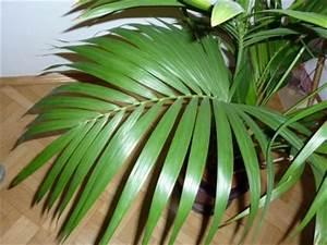 Kentia Palme Braune Blätter : kentia palme pflege kentia palme ist mit richtiger pflege eine anschaffung palmen pflege der ~ Watch28wear.com Haus und Dekorationen