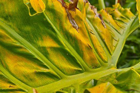 Monstera Gelbe Blätter monstera bekommt gelbe bl 228 tter 187 ursachen ma 223 nahmen