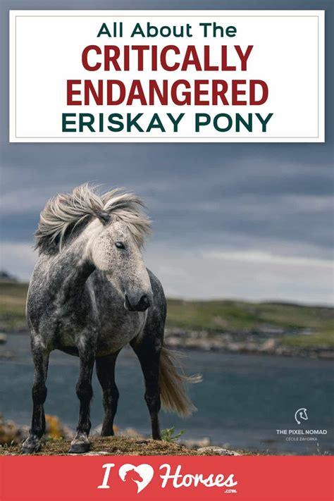ihearthorses pony eriskay horses facts horse