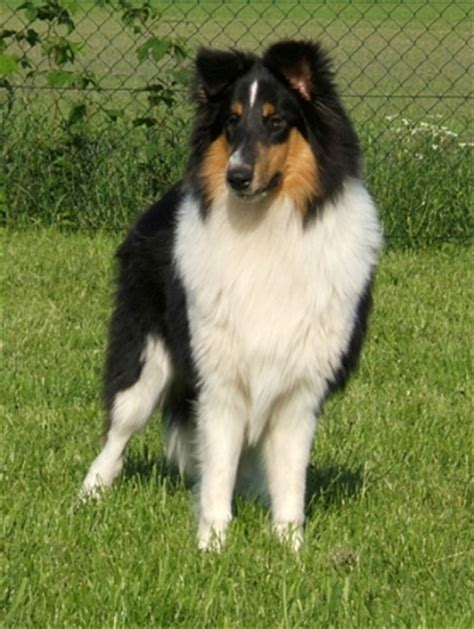 rough collie breed information history health pictures