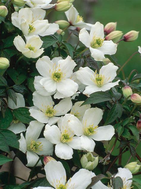 summer flowering climbers flowering clematis flowering vines for summer hgtv