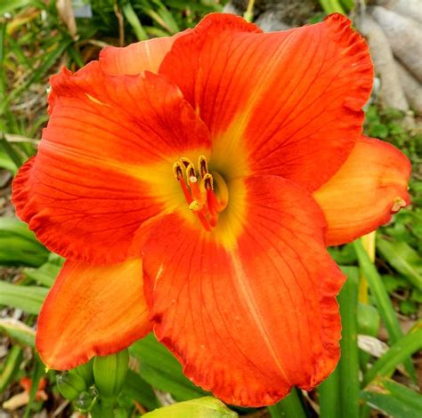 daylilies forum colors your orange and