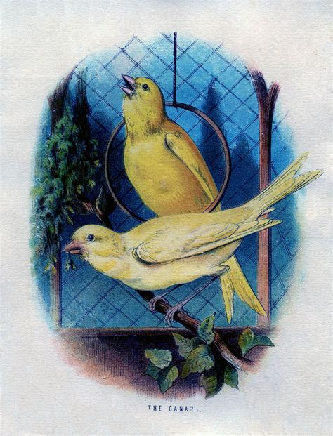 vintage graphic  canary birds   cage  graphics
