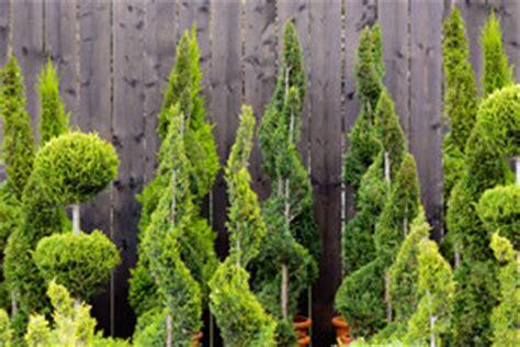 koniferen pflanzen und pflege anleitung