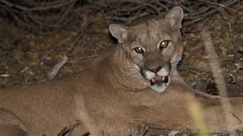 p   california mountain lion   death sentence