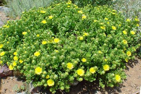 ground cover plants grindelia stricta venulosa coastal groundcover gum plant