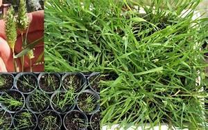 Phalaris Brachystachys Short Spike Canary Grass Seeds ...