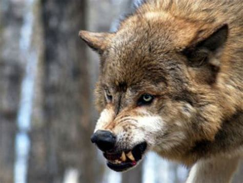 wolf attacks dog north  anchorage alaska dispatch news
