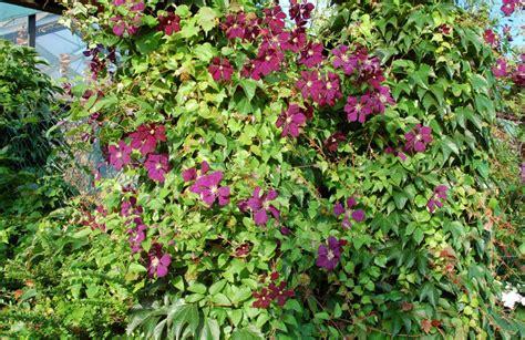 Kletterpflanzen Immergrün Winterhart by Schnell Wachsende Kletterpflanze Winterhart Haus Design