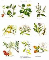 Лекарственные растения и травы при гипертонии
