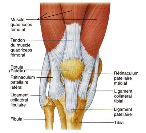 les os de la jambe et du pied planches anatomiques