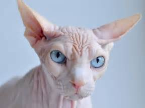 hairless cat the five ugliest cat breeds in the world