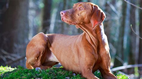 Do Vizsla Dogs Shed by Best Small Dogs For Choosing The Pet For